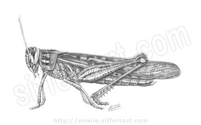 grasshopper - pencil drawing