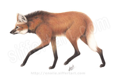 maned wolf - colored pencils drawing