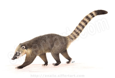 coati - colored pencils drawing